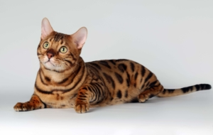 Bengal Cats Wallpapers HD