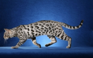 Bengal Cats Wallpapers HQ