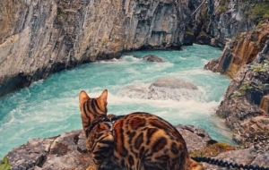 Bengal Cats Wallpapers For Android