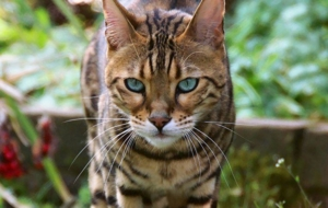 Bengal Cats Wallpapers For IPhone