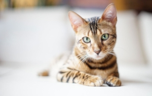 Bengal Cats Wallpapers Pack