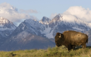Bison Beautiful Wallpaper