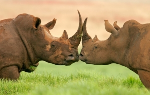 Black Rhinoceros Pinterest