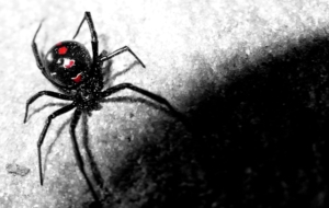 Black Widow Spiders Beautiful Wallpaper