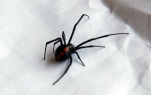 Black Widow Spiders Images