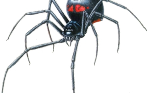 Black Widow Spiders Photos