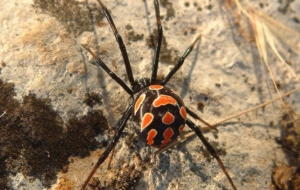 Black Widow Spiders Pics