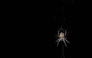 Black Widow Spiders Pictures