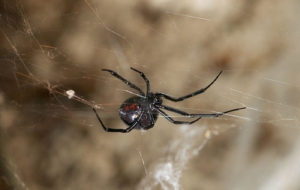 Black Widow Spiders Wallpaper