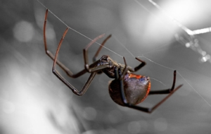 Black Widow Spiders Wallpapers HQ