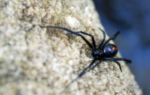 Black Widow Spiders Wallpapers Pack