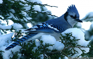 Blue Jay High Resolution