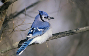 Blue Jay Images