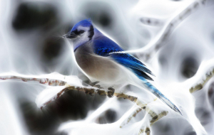 Blue Jay Pinterest