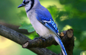 Blue Jay Wallpapers Pack