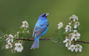 Bluebird Widescreen