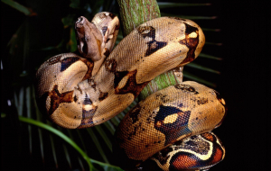 Boa Constrictor Beautiful Wallpaper