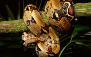 Boa Constrictor Full HD Wallpapers
