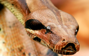Boa Constrictor Images