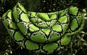 Boa Constrictor Pictures