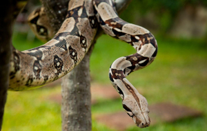 Boa Constrictor Wallpapers HQ