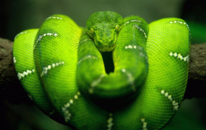 Boa Constrictor Wallpapers For Android