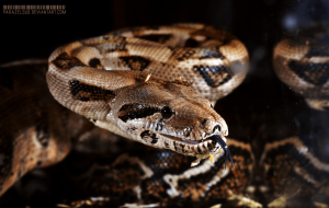 Boa Constrictor Wallpapers Pack