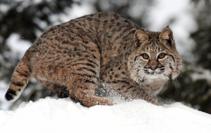 Bobcats Beautiful Wallpaper