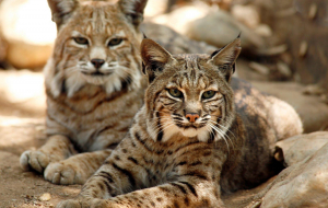 Bobcats High Resolution