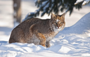 Bobcats Images