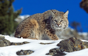 Bobcats Wallpapers For Android