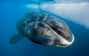 Bowhead Whales Beautiful Wallpaper