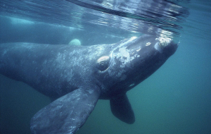 Bowhead Whales In HQ