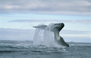 Bowhead Whales Wallpapers HD