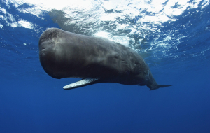 Bowhead Whales Wallpapers Pack