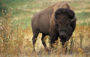 Buffalo Pictures