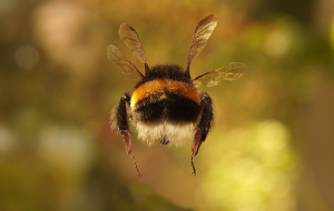 Bumblebee Insect Gallery
