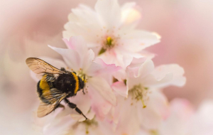 Bumblebee Insect Images