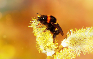 Bumblebee Insect Pics