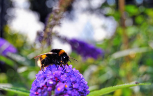 Bumblebee Insect Pictures