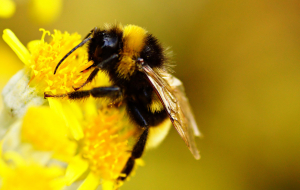Bumblebee Insect Pinterest