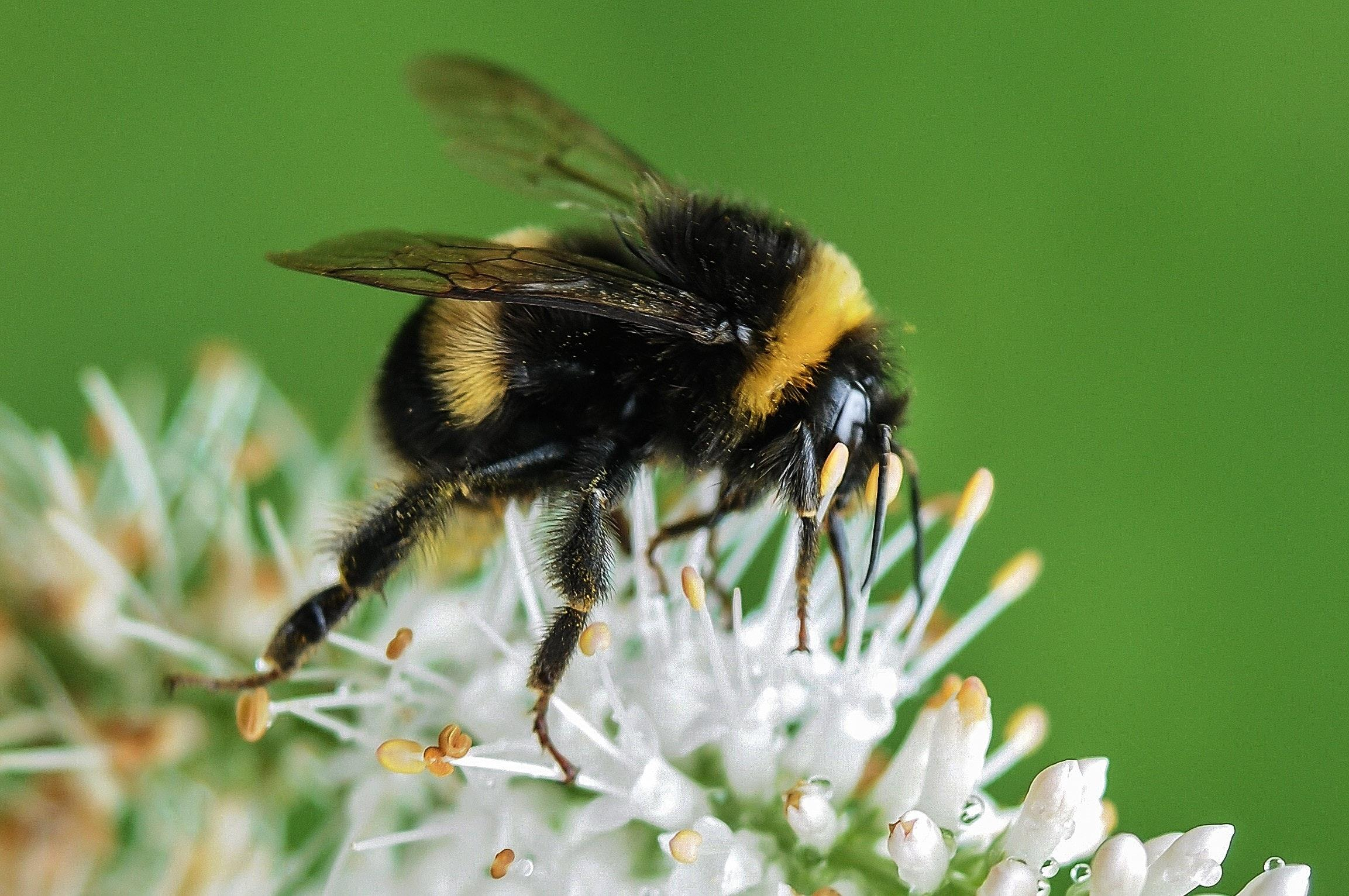 Bumblebee Insect