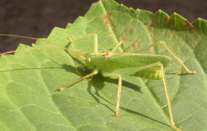 Bush Crickets Wallpapers HQ