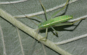 Bush Crickets Wallpapers For Android
