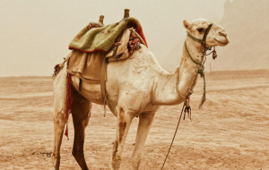 Camels Beautiful Wallpaper