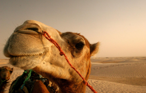 Camels Full HD Wallpapers