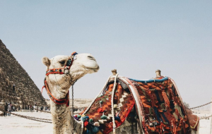 Camels Gallery