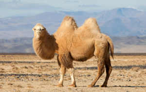 Camels High Resolution