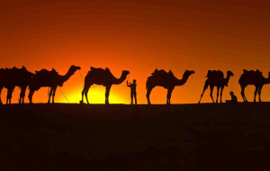 Camels Pictures