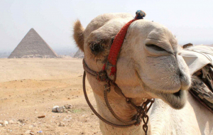 Camels Wallpapers HD